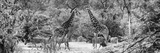 Awesome South Africa Collection Panoramic - Giraffes and Burchell's Zebra B&W Photographic Print by Philippe Hugonnard