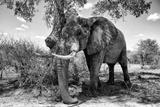 Awesome South Africa Collection B&W - Elephant V Fotografisk tryk af Philippe Hugonnard