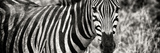 Awesome South Africa Collection Panoramic - Zebra Portrait II Photographic Print by Philippe Hugonnard