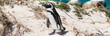 Awesome South Africa Collection Panoramic - African Penguin Photographic Print by Philippe Hugonnard