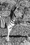 Awesome South Africa Collection B&W - Burchell's Zebra Portrait I Photographic Print by Philippe Hugonnard
