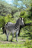Awesome South Africa Collection - Burchell's Zebra III Photographic Print by Philippe Hugonnard