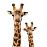 Safari Profile Collection - Portrait of Giraffe and Baby White Edition Photographic Print by Philippe Hugonnard