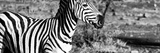 Awesome South Africa Collection Panoramic - Burchell's Zebra Portrait II B&W Photographic Print by Philippe Hugonnard