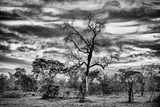 Awesome South Africa Collection B&W - African Landscape with Acacia Tree II Photographic Print by Philippe Hugonnard