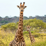 Awesome South Africa Collection Square - Portrait of Two Giraffes Photographic Print by Philippe Hugonnard