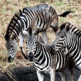Awesome South Africa Collection Square - Three Zebras Photographic Print by Philippe Hugonnard