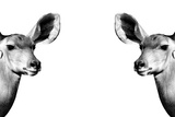 Safari Profile Collection - Antelopes Impalas Face to Face White Edition II Photographic Print by Philippe Hugonnard