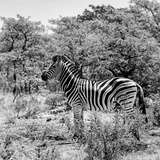 Awesome South Africa Collection Square - Zebra Profile B&W Photographic Print by Philippe Hugonnard