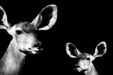Safari Profile Collection - Antelope and Baby Black Edition II Photographic Print by Philippe Hugonnard