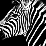Safari Profile Collection - Zebra Portrait Black Edition Photographic Print by Philippe Hugonnard