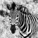 Awesome South Africa Collection Square - Burchell's Zebra Portrait II B&W Photographic Print by Philippe Hugonnard
