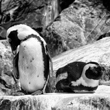 Awesome South Africa Collection Square - African Penguin B&W Photographic Print by Philippe Hugonnard