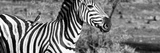 Awesome South Africa Collection Panoramic - Redbilled Oxpecker on Burchell's Zebra IV B&W Photographic Print by Philippe Hugonnard
