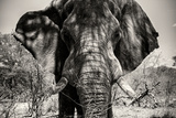 Awesome South Africa Collection B&W - Elephant Portrait VI Photographic Print by Philippe Hugonnard