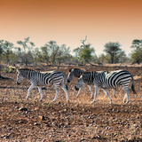 Awesome South Africa Collection Square - Three Zebras walking at Sunset Photographic Print by Philippe Hugonnard