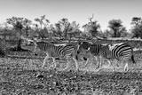 Awesome South Africa Collection B&W - Trio of Common Zebras Photographic Print by Philippe Hugonnard