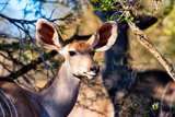 Awesome South Africa Collection - Female Nyala Antelope Photographic Print by Philippe Hugonnard