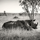 Awesome South Africa Collection Square - Two Rhinoceros sleeping Photographic Print by Philippe Hugonnard