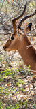 Awesome South Africa Collection Panoramic - Close-Up of Impala Photographic Print by Philippe Hugonnard
