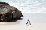 Awesome South Africa Collection - Penguin at Boulders Beach II Photographic Print by Philippe Hugonnard