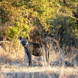 Awesome South Africa Collection Square - Hyena at Sunrise Photographic Print by Philippe Hugonnard