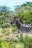 Awesome South Africa Collection - Burchell's Zebra VI Photographic Print by Philippe Hugonnard