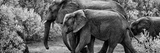 Awesome South Africa Collection Panoramic - Elephant Family B&W Photographic Print by Philippe Hugonnard