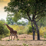Awesome South Africa Collection Square - Wild Giraffe Photographic Print by Philippe Hugonnard