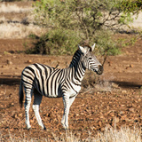 Awesome South Africa Collection Square - Burchell's Zebra with Oxpecker Photographic Print by Philippe Hugonnard