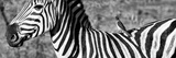 Awesome South Africa Collection Panoramic - Redbilled Oxpecker on Burchell's Zebra V B&W Photographic Print by Philippe Hugonnard