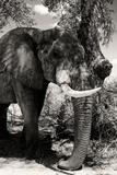 Awesome South Africa Collection B&W - Elephant Portrait XI Photographic Print by Philippe Hugonnard