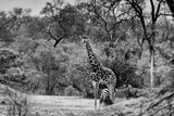 Awesome South Africa Collection B&W - Giraffe and Zebras in the Savanna Photographic Print by Philippe Hugonnard