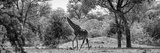 Awesome South Africa Collection Panoramic - Giraffe in the Savanna B&W Photographic Print by Philippe Hugonnard