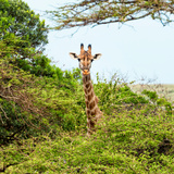 Awesome South Africa Collection Square - Giraffe in Trees Photographic Print by Philippe Hugonnard