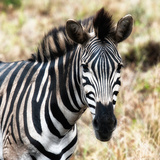 Awesome South Africa Collection Square - Burchell's Zebra Portrait III Photographic Print by Philippe Hugonnard