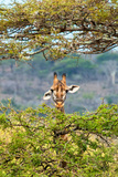 Awesome South Africa Collection - Curious Giraffe Photographic Print by Philippe Hugonnard