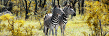 Awesome South Africa Collection Panoramic - Two Burchell's Zebra Photographic Print by Philippe Hugonnard