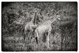 Awesome South Africa Collection B&W - Two Giraffes in the Savanna Photographic Print by Philippe Hugonnard
