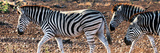Awesome South Africa Collection Panoramic - Close-Up of Three Zebra Photographic Print by Philippe Hugonnard