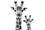 Safari Profile Collection - Portrait of Giraffe and Baby White Edition VI Photographic Print by Philippe Hugonnard