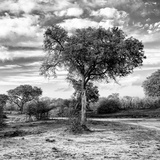 Awesome South Africa Collection Square - Acacia Trees in the Bush B&W Photographic Print by Philippe Hugonnard
