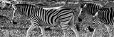 Awesome South Africa Collection Panoramic - Close-Up of Three Zebra B&W Photographic Print by Philippe Hugonnard