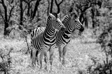 Awesome South Africa Collection B&W - Two Burchell's Zebras Fotografisk tryk af Philippe Hugonnard