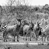 Awesome South Africa Collection Square - Herd of Zebra II B&W Photographic Print by Philippe Hugonnard
