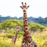Awesome South Africa Collection Square - Portrait of Two Giraffes II Photographic Print by Philippe Hugonnard