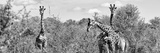 Awesome South Africa Collection Panoramic - Herd of Giraffes B&W Photographic Print by Philippe Hugonnard