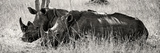 Awesome South Africa Collection Panoramic - Two White Rhinos II Photographic Print by Philippe Hugonnard