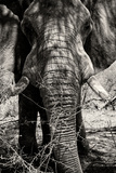 Awesome South Africa Collection B&W - Elephant Portrait VIII Photographic Print by Philippe Hugonnard