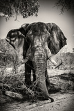 Awesome South Africa Collection B&W - Elephant Portrait IV Photographic Print by Philippe Hugonnard
